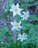 Avalanche lily , Erythronium montanum