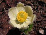 Mountain pasqueflower,  Anemone occidentalis