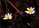 Elkslip marsh-marigold,  Caltha leptosepala
