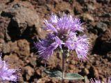 Coyote mint,  Monardella odoratissima