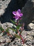 Dwarf fireweed, Epilobium latifolium