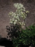 Grays lovage, Ligusticum grayi