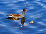 The common moorhen or gallinule