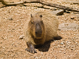 The Capybara, the worlds largest rodent