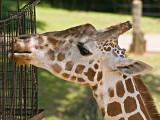 A fine looking giraffe