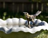 The Female Cowbird