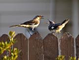 A  squawking mockingbird