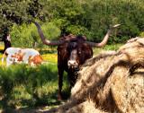 A Texas Longhorn