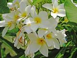 The Wild Jasmine (Frangiponi, Plumeria)