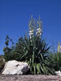 The yucca I think