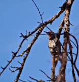 Yellow Shafted Northern Flicker. A type of woodpecker.