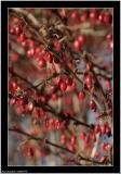 20060118 - Red drops -