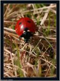 20060404 - Ladybird  -