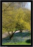 20060515 - Yellow tree -