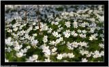 20060516 - Field of flowers -