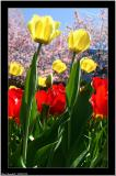 20060520 - Tulip -