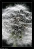 20060523 - Dandelion -