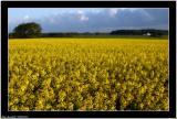20060527 -  Yellow field -