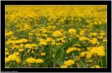 20060530 - Field of flowers -