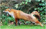 foxStretch1.jpg