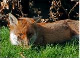 foxRest1.jpg