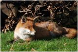 foxRest2.jpg