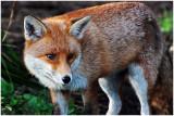 Fox11.jpg
