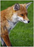 redFox18.jpg