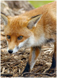 redFox21.jpg