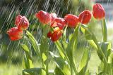 Tulip HDL1722.jpg