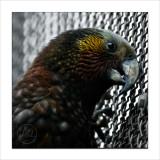 Kaka, the bush parrot