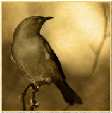 Koremako. The Bell Bird