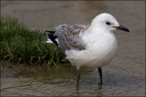 A young Tarapunga (Red Billed Gull)