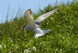 003  COMMON TERN