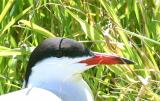 007  COMMON TERN