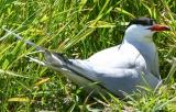 009  COMMON TERN