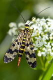 Common Scorpionfly (panorpa communis)