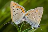 Common Blue Pair (polyommatus icarus)