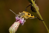 Longhorn Beetle (pachyta quadrimaculata)