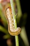 Unid Sawfly Larva (symphyta hymenoptera)