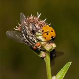 Flesh Fly and Lady Bird (sarcophaga carnaria, coccinella septempunctata)
