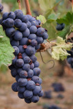 in_the_vineyard
