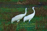 Cranes at Payne's Prairie