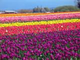 WA tulip festival