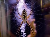 arachnid colors