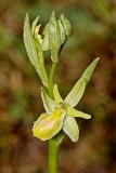 Spinnenragwurz (Ophrys sphegodes) Albino Variante