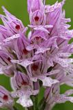 Dreizähniges Knabenkraut (Neotinea tridentata)