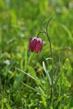 Schachblume (Fritillaria meleagris) 3