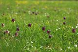 Schachblume (Fritillaria meleagris) 4