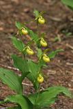 Frauenschuh (Cypripedium calceolus var. viridiflora)